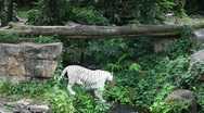 White tigers walking around Stock Footage