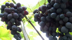 Black grapes on the bush after rain Stock Footage