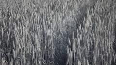 Infrared flora: ears of the wheat in a wind 11 Stock Footage