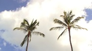 Stock Video Footage of Two Palm Trees