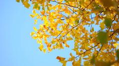 Yellow Tulip tree in fall Stock Footage