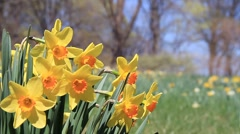 Yellow Daffidils with Orange Trumpets (centers) sway in a Meadow Stock Footage