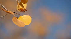Aspens Autumn 157 29.97 Stock Footage