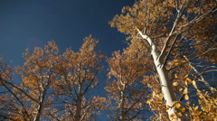 Aspens Autumn 165 29.97 Stock Footage