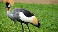 Stock Video Footage of Beautiful bird with crest, Balearica Regulorum, African Grey Crowned Crane