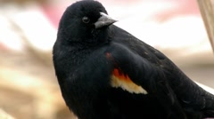 Stock Video Footage of Red-Winged Black Bird 2 - extreme close up