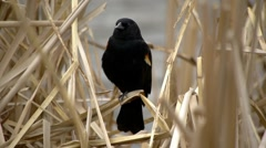 Red-Winged Black Bird 5 Stock Footage