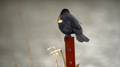 Stock Video Footage of Red-Winged Black Bird 6 - takes flight