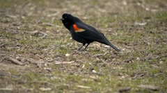 Red-Winged Black Bird 7 Stock Footage