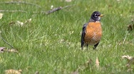 Stock Video Footage of Robin in Grass 1
