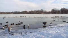 Various Bird in Icy Prospect Park Lake in Brooklyn 1 Stock Footage