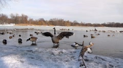Stock Video Footage of Various birds in Icy Prospect Park lake in Brooklyn 2
