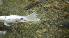 Many fish swimming in clear water Stock Footage
