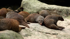 Many Bandded Mongooses relaxing on a rock Stock Footage