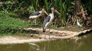 Marabou storks Stock Footage