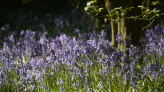 Bluebells in Flower. Stock Footage