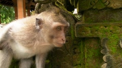 Monkey Examines the Wall Stock Footage