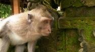 Monkey Examines the Wall Stock Footage