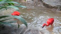 Scarlet ibis bathing and fighting Stock Footage
