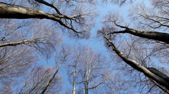 Poplar Forest, Aspen Trees Swaying in the Wind, Spring Season, Windy Weather Stock Footage
