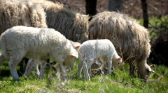 Herd Of Sheep and Lamb Grazing In A Field, A small Group eating grass, Spring Stock Footage