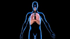 Stock Video Footage of Respiratory system