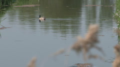 Duck in river Stock Footage