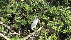 Sanibel zooms in on night heron Stock Footage