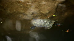 Stock Video Footage of A little turtle swimming in a lake, Testudines Reptile