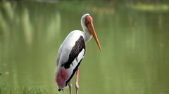 Beautiful stork near a lake, Ciconiidae Family, Ciconiiformes Stock Footage