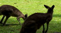 Kangaroo eating and jumping in the pasture HD Footage