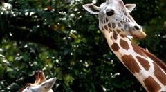 Beautiful Giraffe eating in the forest, Giraffa Camelopardalis Stock Footage