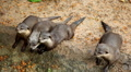 Many otters relaxing near to water, Mustelidae family Footage