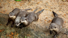 Many otters relaxing near to water, Mustelidae family Stock Footage