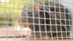 Rat Inside Trap (HD) Stock Footage