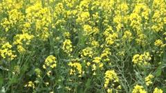 Yellow Rape Seed Stock Footage