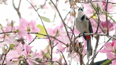 Crested Bulbul on a Bauhinia Tree Stock Footage