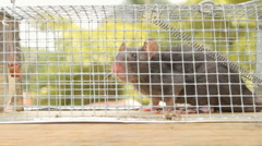 Caged Rat Nature Background (HD) - stock footage