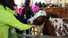 Petting a cow in a barn Stock Footage
