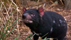Stock Video Footage of Tasmanian Devil Dances