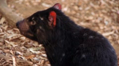 Tasmanian Devil Sniffs the Air Stock Footage