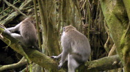 Monkeys on Mossy Branches Stock Footage