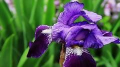Bearded Iris Animated Look Loop Stock Footage