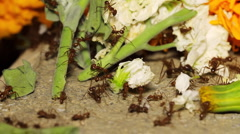 Red Ants Taking Flowers Speed Up (HD) Stock Footage