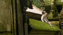 Monkey on the Temple Wall (Part 2 of 2) Stock Footage
