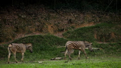 Many zebra walking in savanna, African Equids Stock Footage