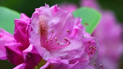 Rhododendron Stock Footage