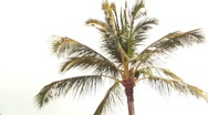 Stock Video Footage of Palm tree isolated on white