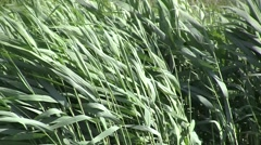 thatch in the wind - stock footage