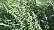 Thatch in the wind Stock Footage